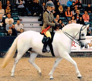 Banks Vanilla champion connemara pony